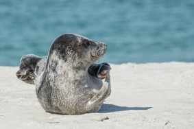 grey-seal-2164736_640