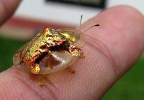http_1.bp.blogspot.com-Dy_8BffNP4YUx9OdW3FMpIAAAAAAAAAwMNdB665jXX_Es1600Golden-Tortoise-Beetle-Blogs-scientificamerican-com