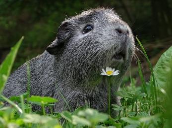 guinea-pig-3336994_640