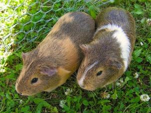 guinea-pig-444012_640