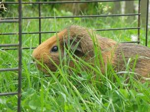 guinea-pig-503739_640.jpg