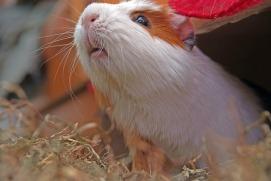 guinea-pig-557631_640
