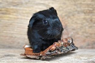 guinea-pig-850563_640.jpg